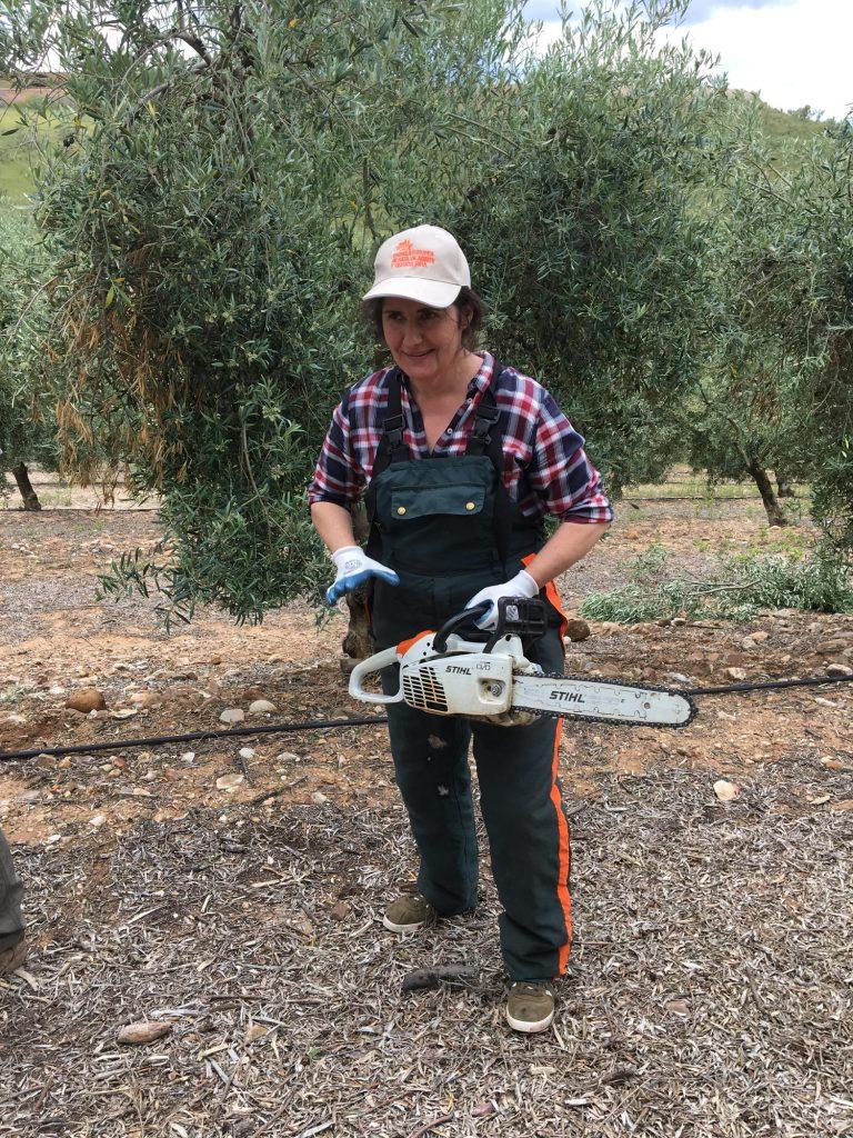 Beschneiden der Olivenbäume mit Kettensäge