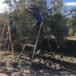 Ernte im November, für das fruchtig-pikante Olivenöl von Mi Olivar