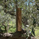 Teigroller aus Olivenholz
