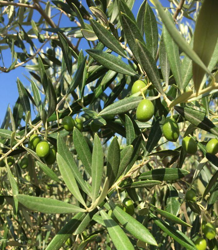 Olivensorte Lechin de Granada